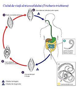 ciclul de dezvoltare helmint