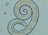 paraziti interni apicomplexans