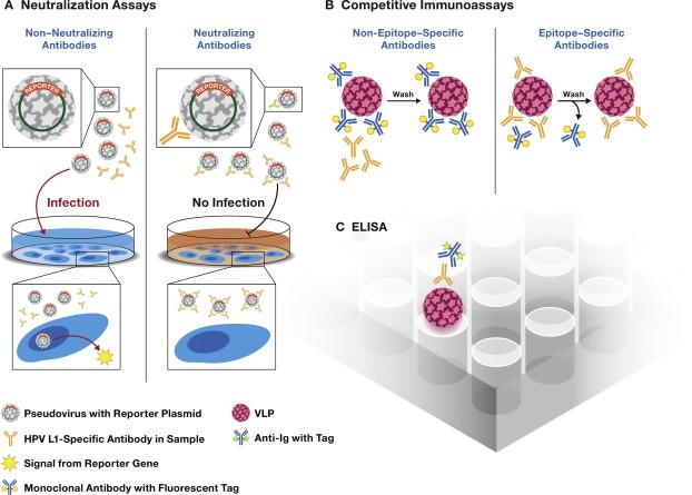 human papillomavirus vaccine mechanism action