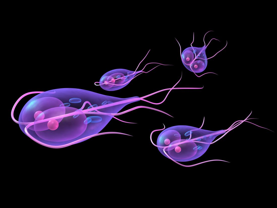 model protozoar giardia