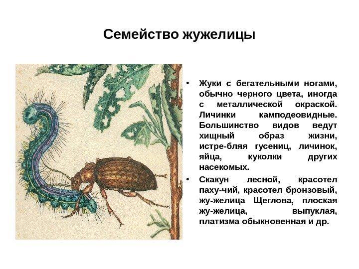pentru a desface viermii încrucișați în om)