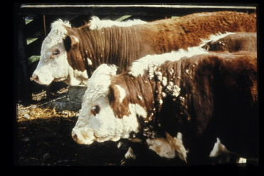 papilloma virus in cows