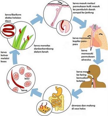 nemathelminthes peranan phylum