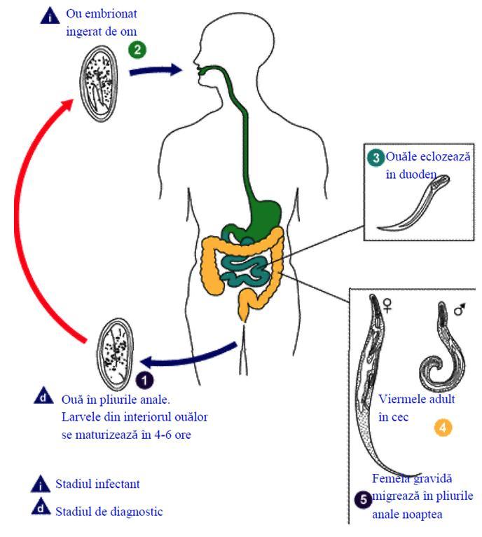 îndepărtarea viermilor din corpul uman