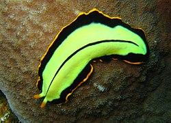exemple de platyhelminthes filo