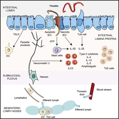 helminth- induced immunity