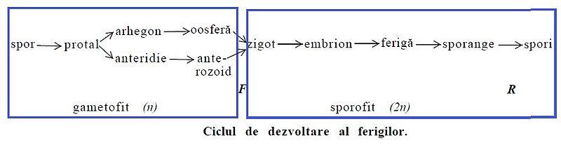ciclul de dezvoltare al teniei