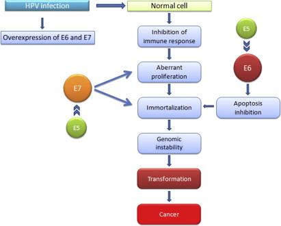 Papillomavirus humains oncogenes, Mult mai mult decât documente.