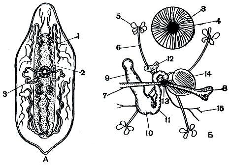 organe senzoriale ale platyhelminthes planaria