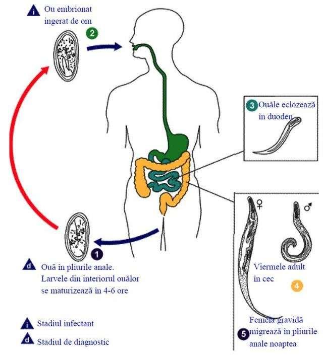 enterobiasis ciclo de vida