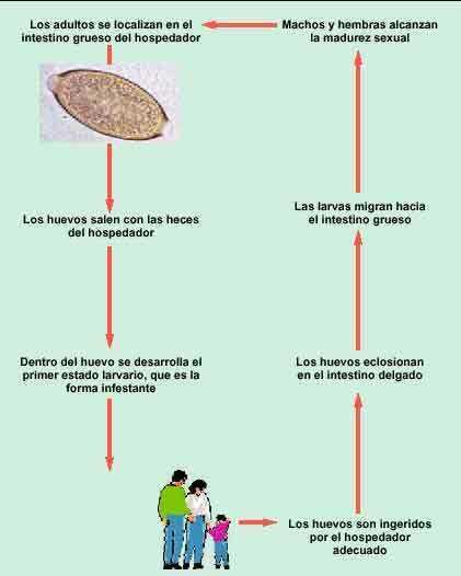enterobius vermicularis resistente