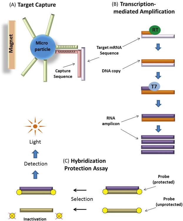 Ginecologie MGVI LR Hpv high risk screen tma