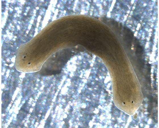 platyhelminthes platyzoa)