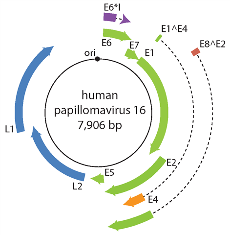 papillomavirus genome schistosomiasis and hiv
