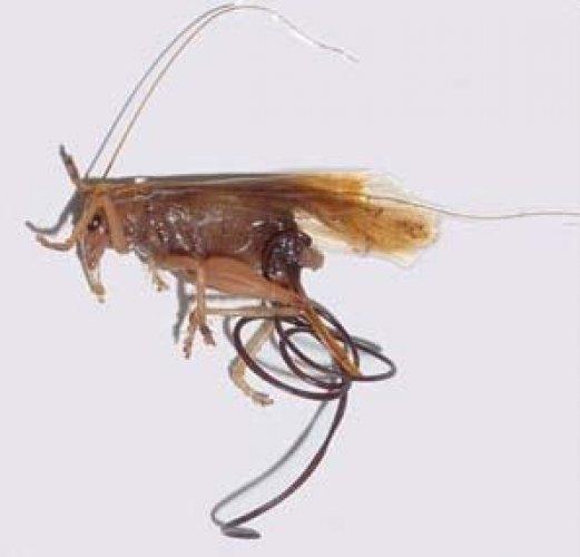 yengec paraziti)
