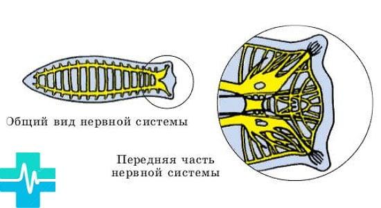 dimensiunea viermilor dintr un vierme uman