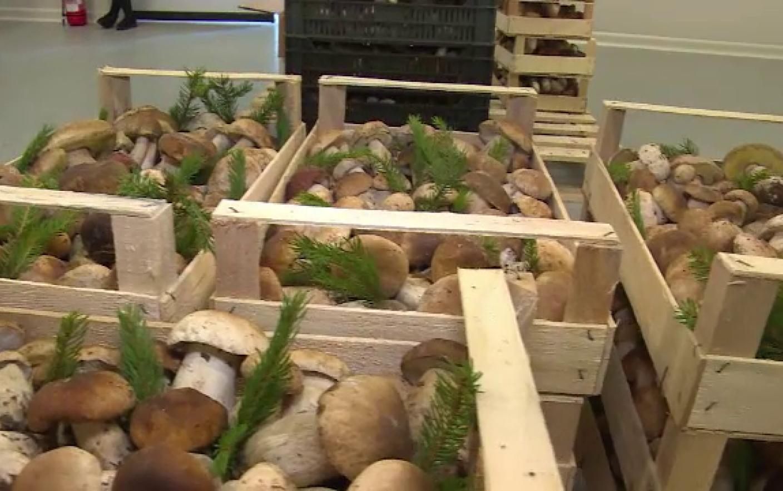 Paguba-n ciuperci   Romania Libera