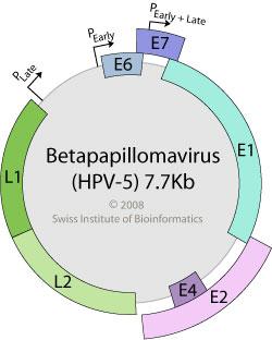 papilloma virus genome măsuri preventive pentru giardioză