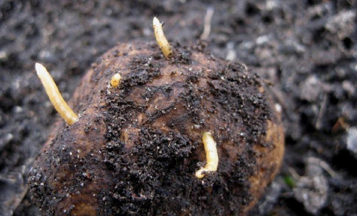 tratament cu viermi de permanganat de potasiu)