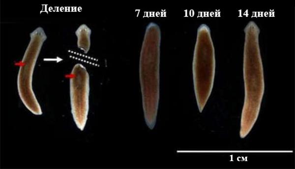 organe senzoriale ale platyhelminthes planaria)
