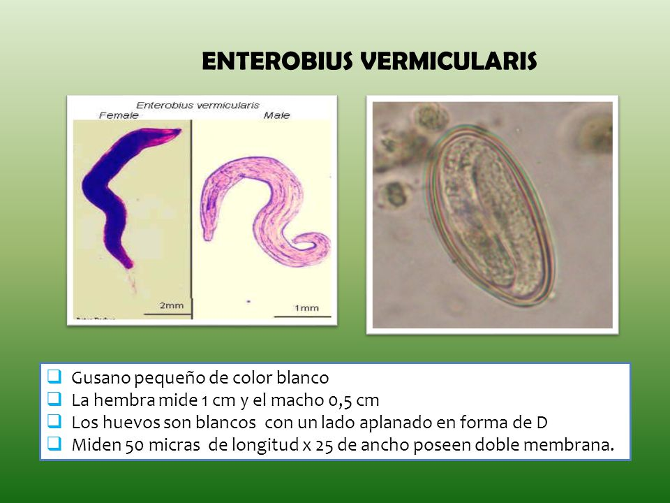 enterobius vermicularis estadios)