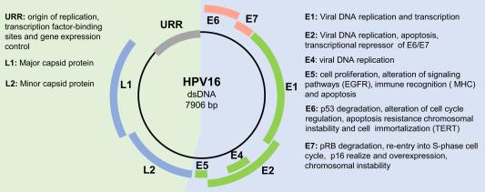 papillomavirus human genomes)