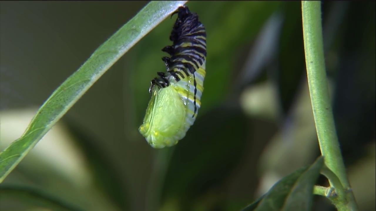 ciclul de viață al fluturilor și lanțurilor cât de ungi