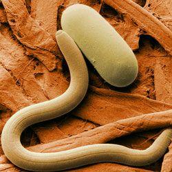Viermi: simptome, transmitere și tratament 🥇 Descoperiți online
