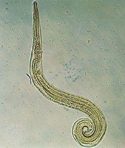 enterobius vermicularis worm