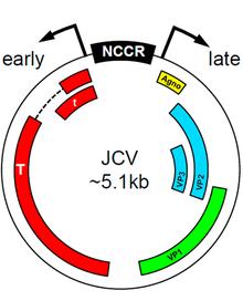 papilloma virus jc