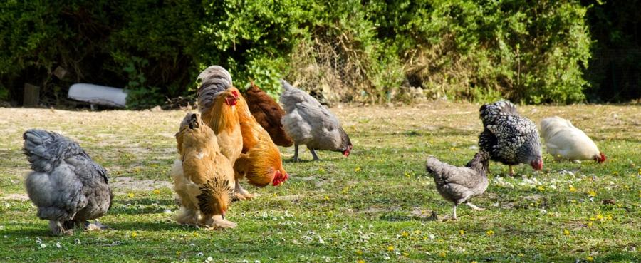 Usturoi la găini și pui de o zi. Rețetă de suc antibiotic pentru păsări