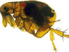 bacterie yersinia paraziți de broască și picioare