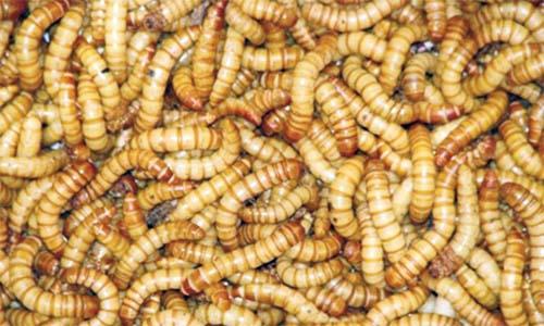 simptome la un vierme de pământ