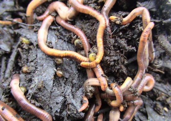 selecție largă pentru viermi