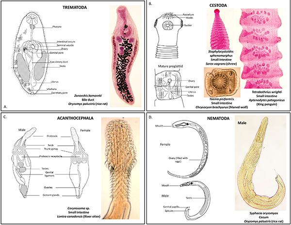 dimensiunea viermilor de helminth asportazione papilloma gola