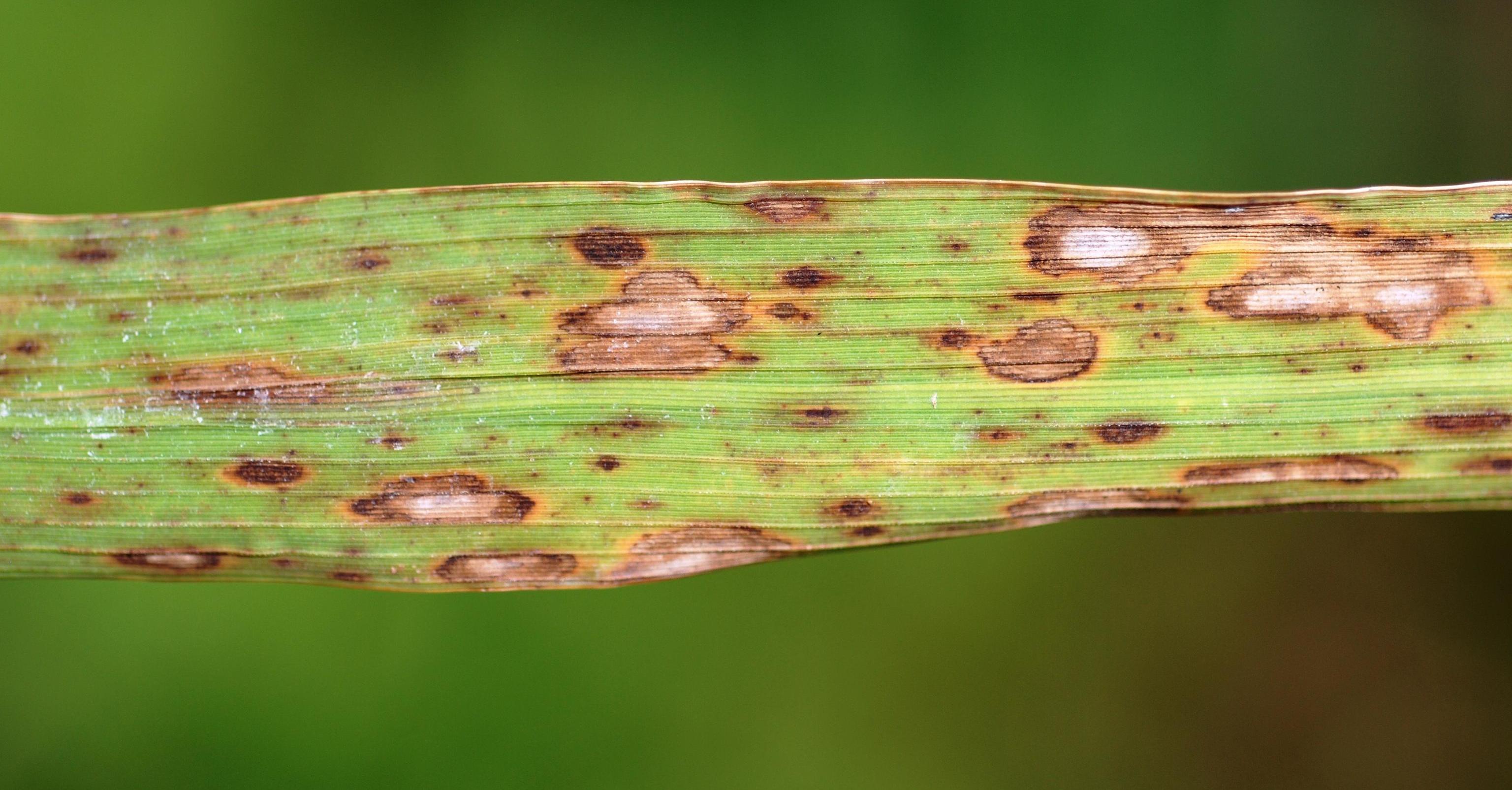 ciuperca helminthosporium oryzae)