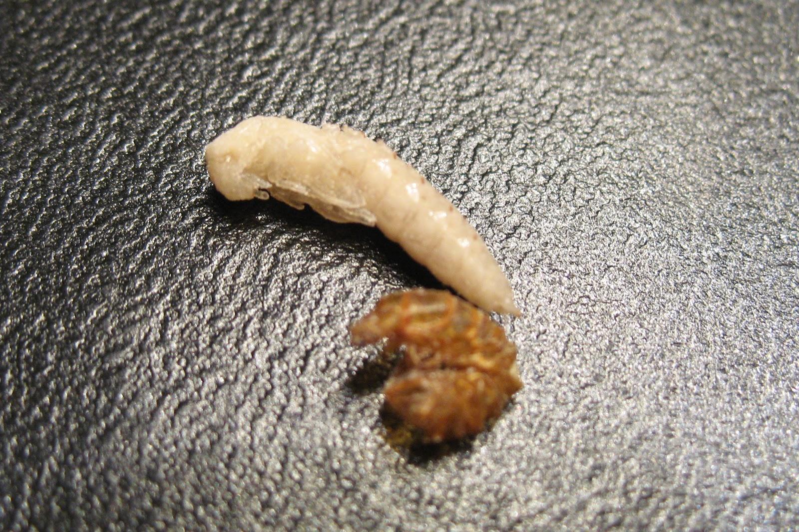 cât de repede de viermi