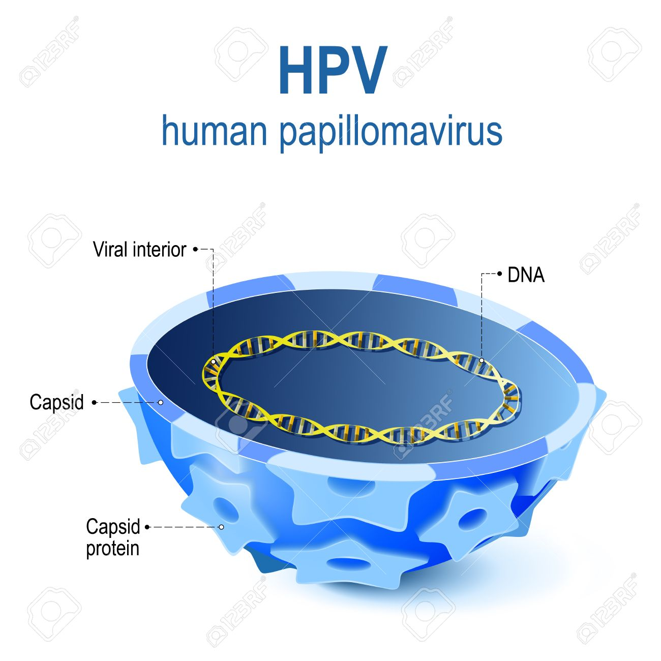 hpv virus structure)