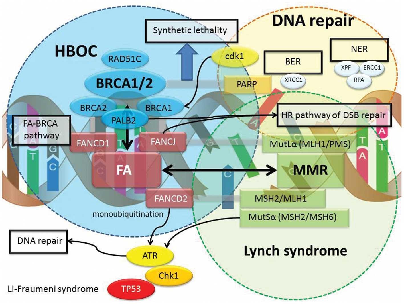Cancerul ovarian si mutatiile BRCA Ovarian cancer gene mutation