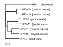 hpv virus number 16