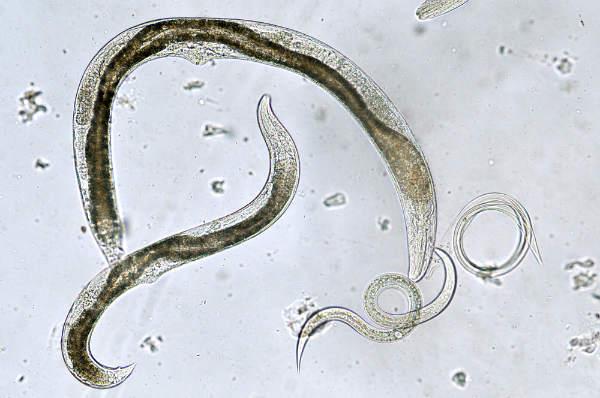 vierme rotunde în bronhiile)