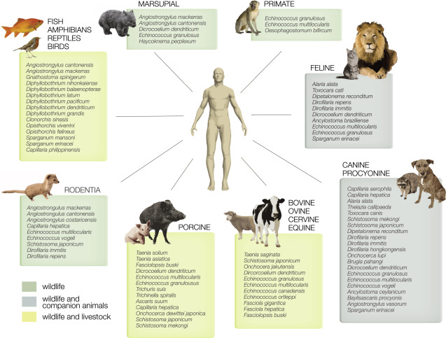 helminth infection zoonotic