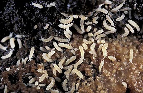 Viermi si paraziti: cum ne luptam cu ei