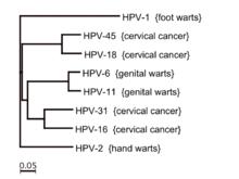 human papillomavirus types