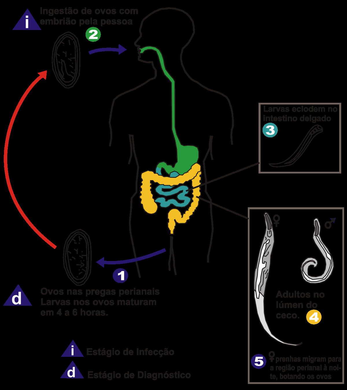 Enterobius vermicularis ciclo de vida cdc