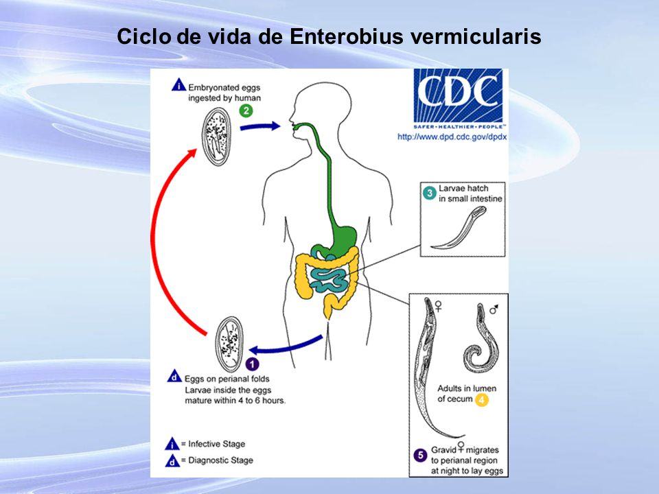 enterobius vermicularis ciclo biologico cdc