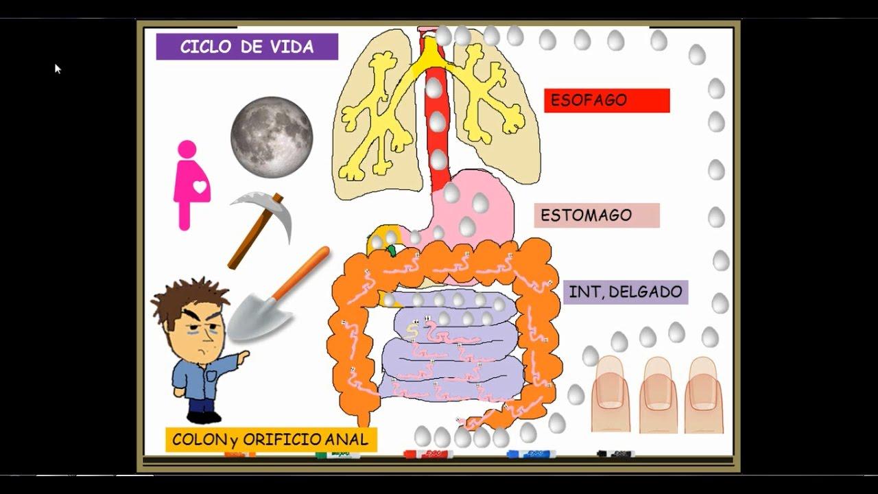 enterobius vermicularis o que e