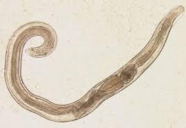enterobius vermicularis resumo