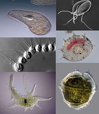 exemple de bacterii parazite