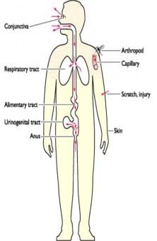 Human papilloma virus portal of entry